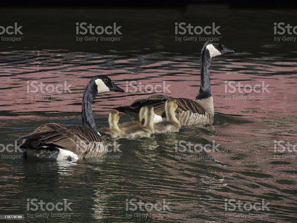 WaterfowlFam royalty-free stock photo