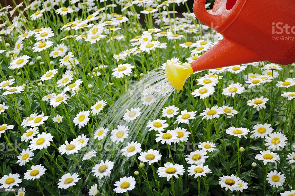 Watering a daisy flower bed stock photo