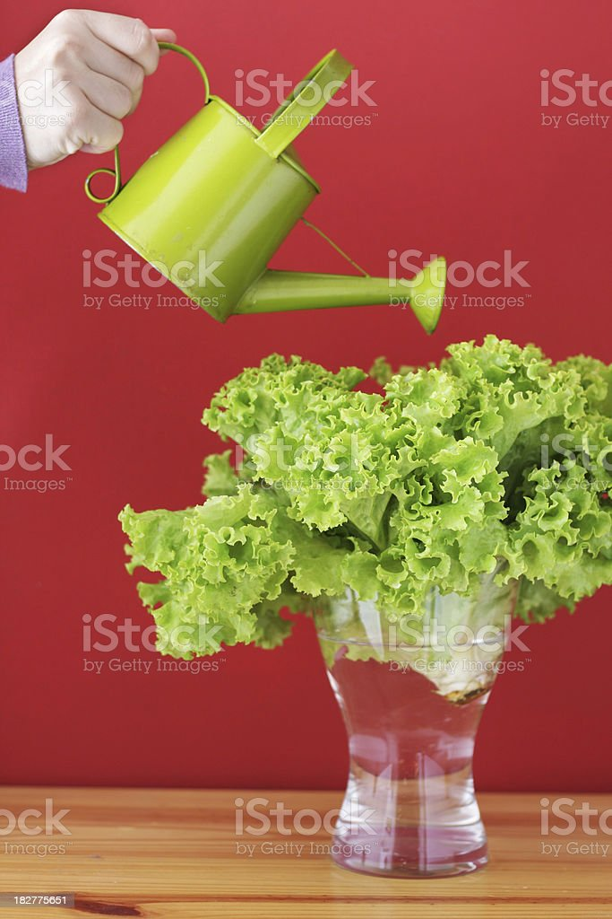 Watering a green lettuce royalty-free stock photo