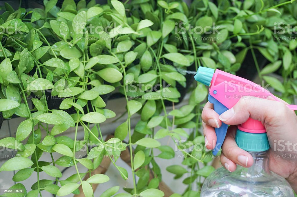 Watering a plant with a plastic transparent foggy stock photo