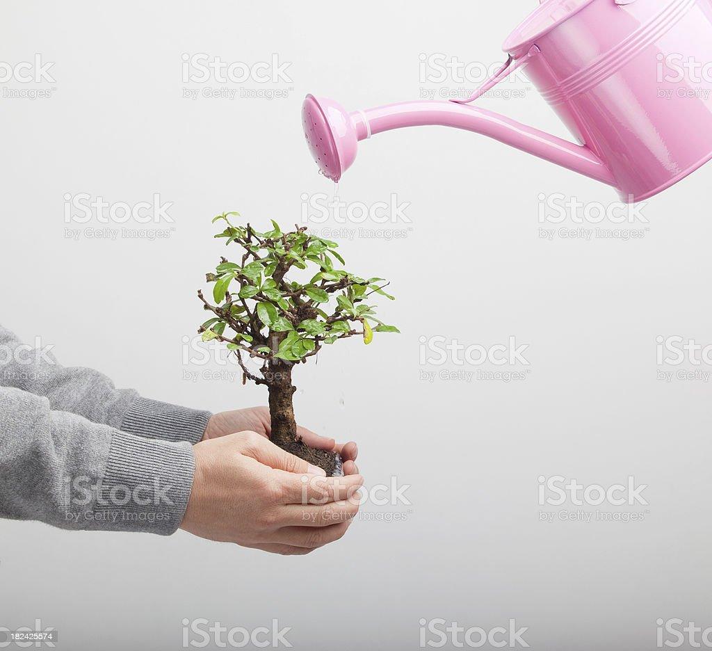 Watering bonsai tree royalty-free stock photo
