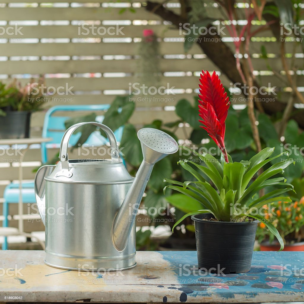 Watering can and Red Bromeliad Plant on a table stock photo