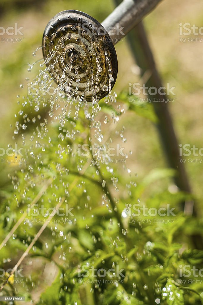 Watering Can Nozzel Spraying Water on Greenery stock photo