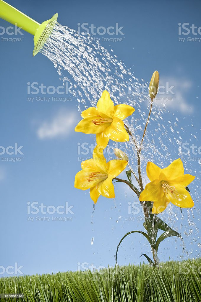 Watering Can Showering A Day Lily royalty-free stock photo