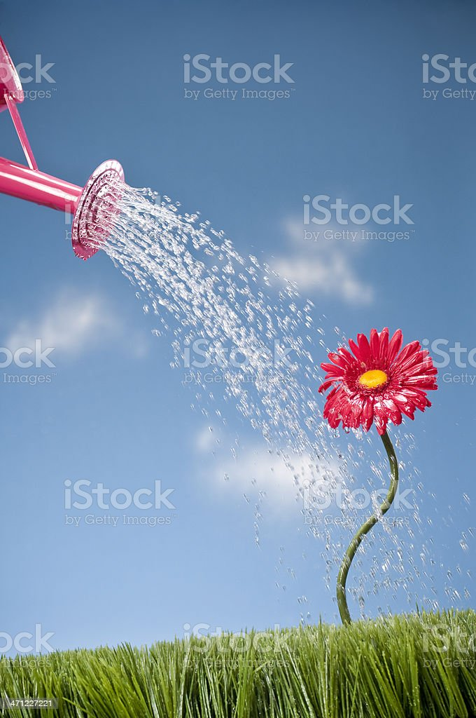 Watering Can Showering A Gerbera Dasy royalty-free stock photo