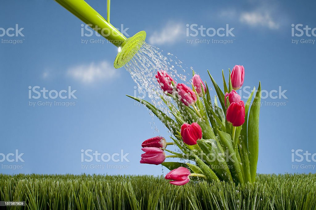 Watering Can Showering Tullips royalty-free stock photo