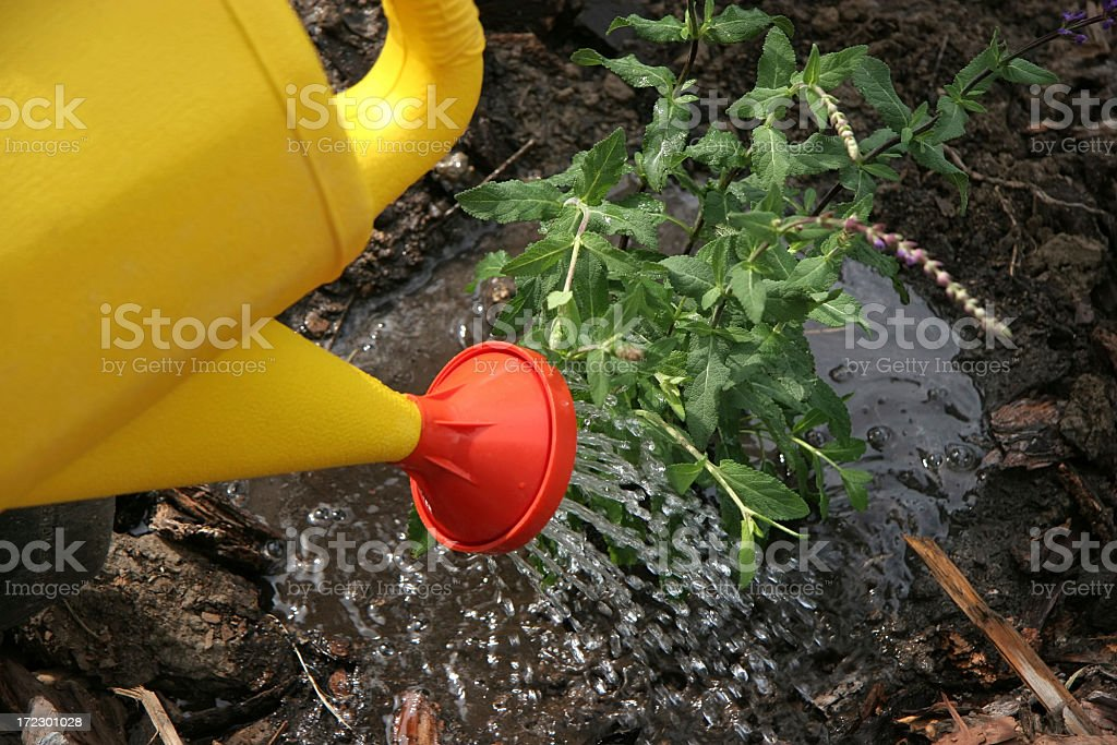 Watering In The New Perennials royalty-free stock photo