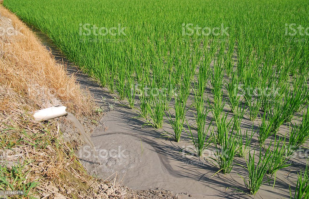 Watering on paddy rice field royalty-free stock photo