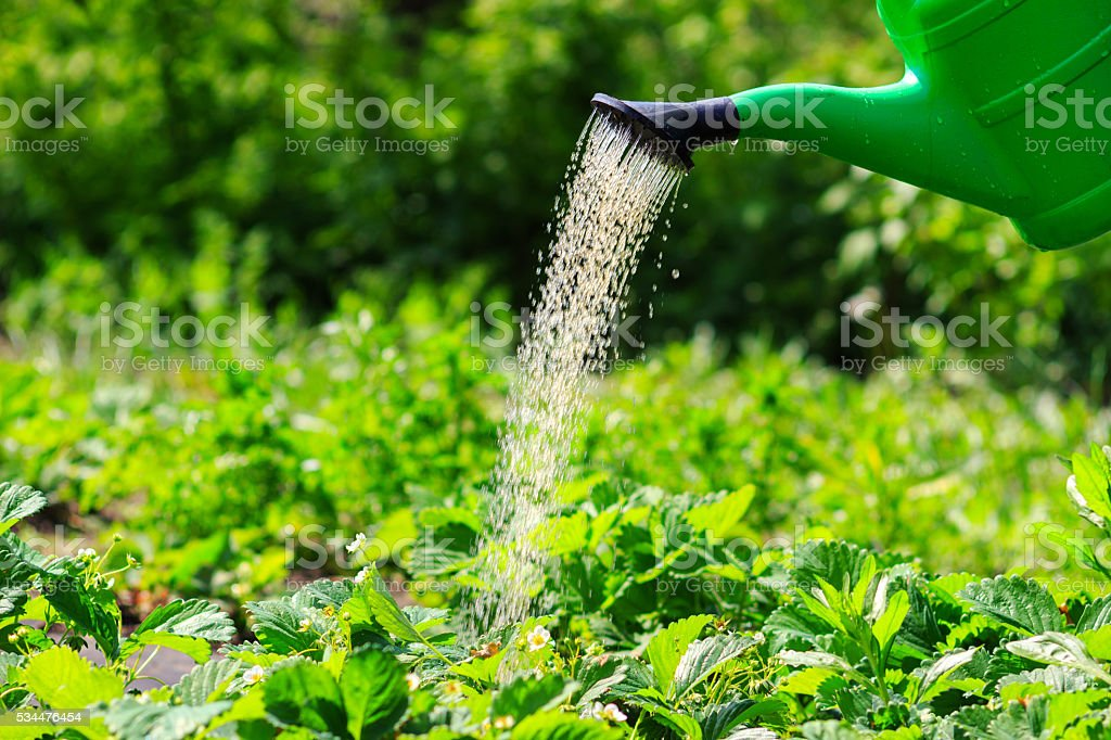 Watering plants, strawberries in the garden. spring outdoors stock photo