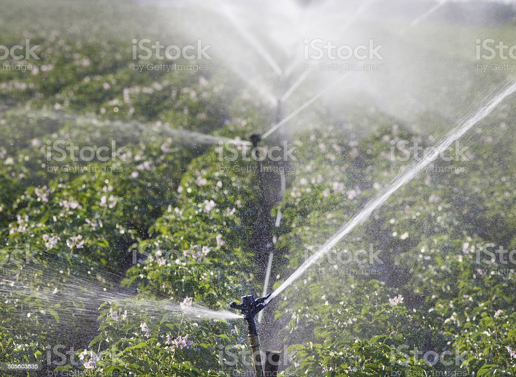Watering potato stock photo