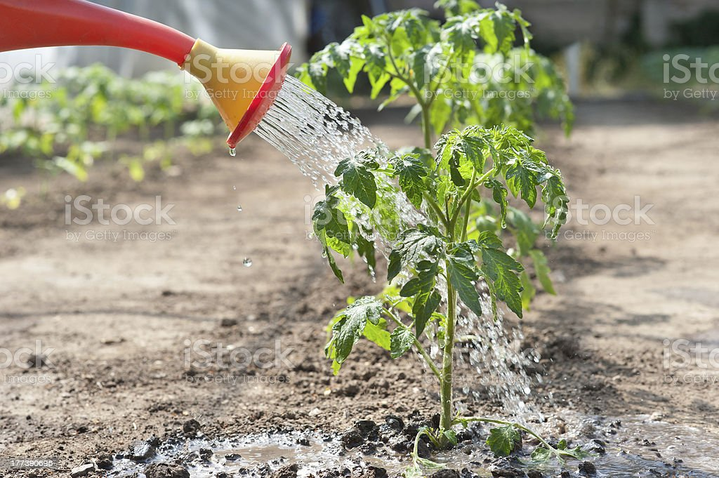 Watering seedling tomato royalty-free stock photo