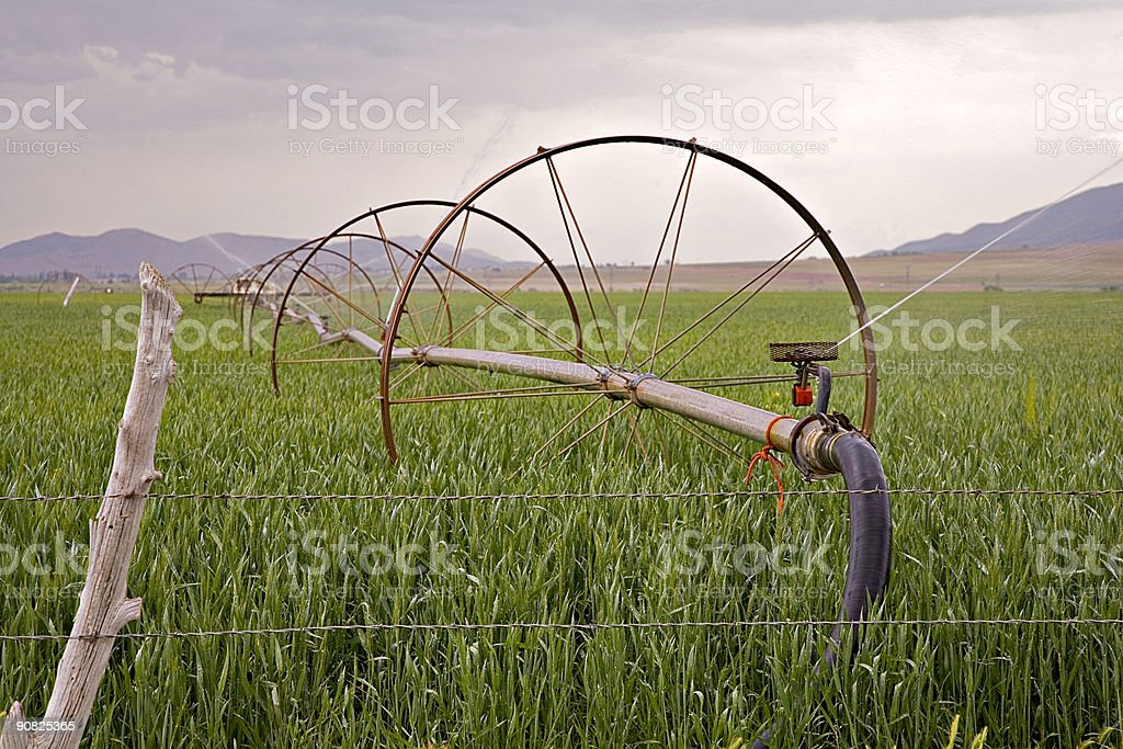 Watering the New Spring Wheat. royalty-free stock photo