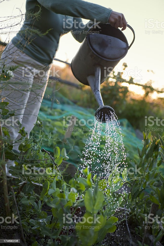 Watering the Vegetable Garden at Sunset royalty-free stock photo