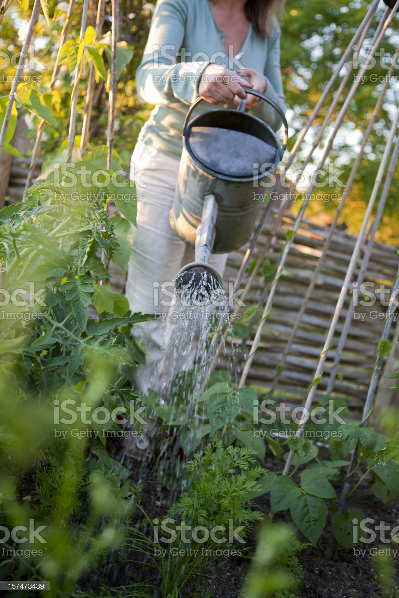Watering the Vegetable Garden royalty-free stock photo