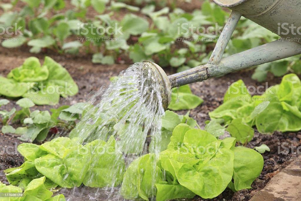 Watering vegetable royalty-free stock photo