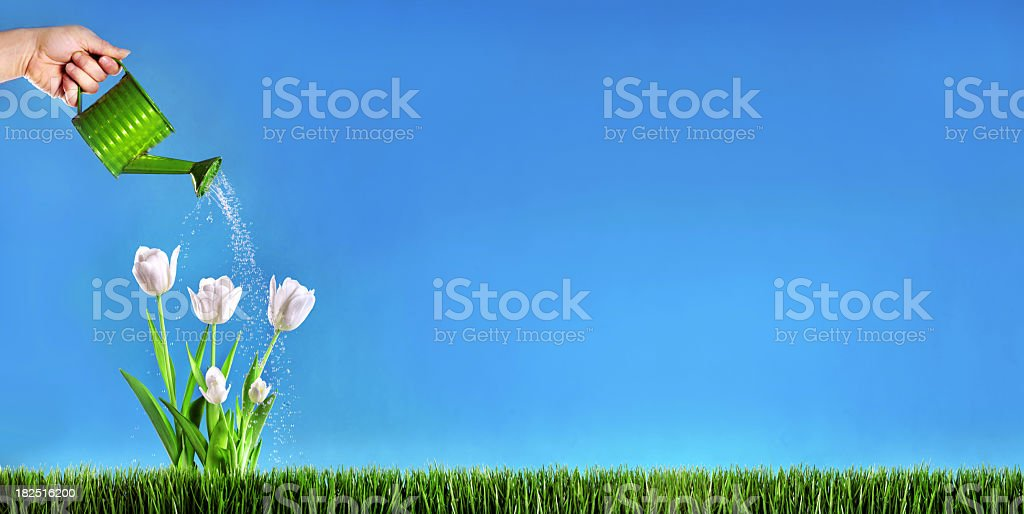 Watering white tulips royalty-free stock photo