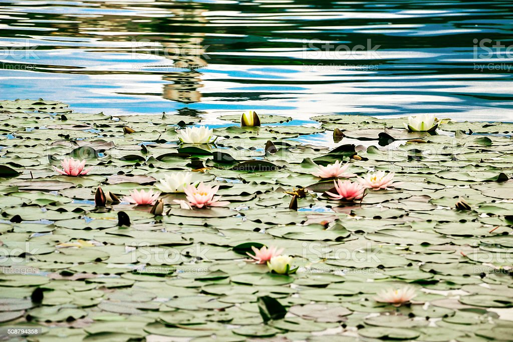 Waterlilies in the lake stock photo