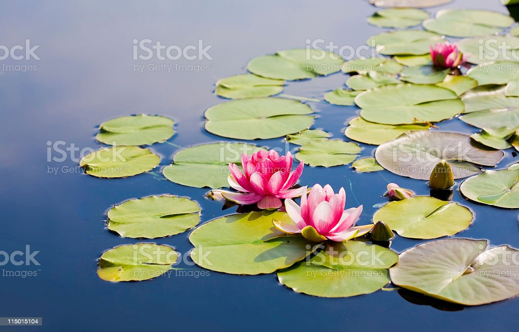 waterlilies stock photo