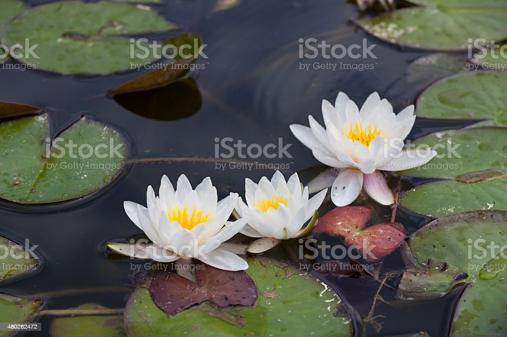 Waterlilies stock photo