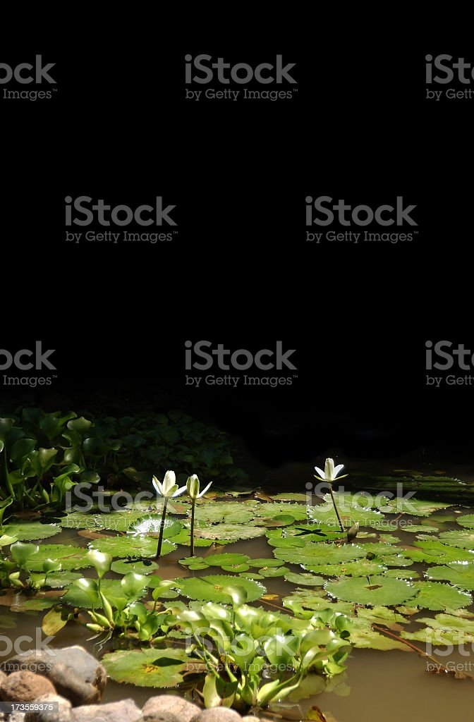 Waterlillies in the sunshine royalty-free stock photo