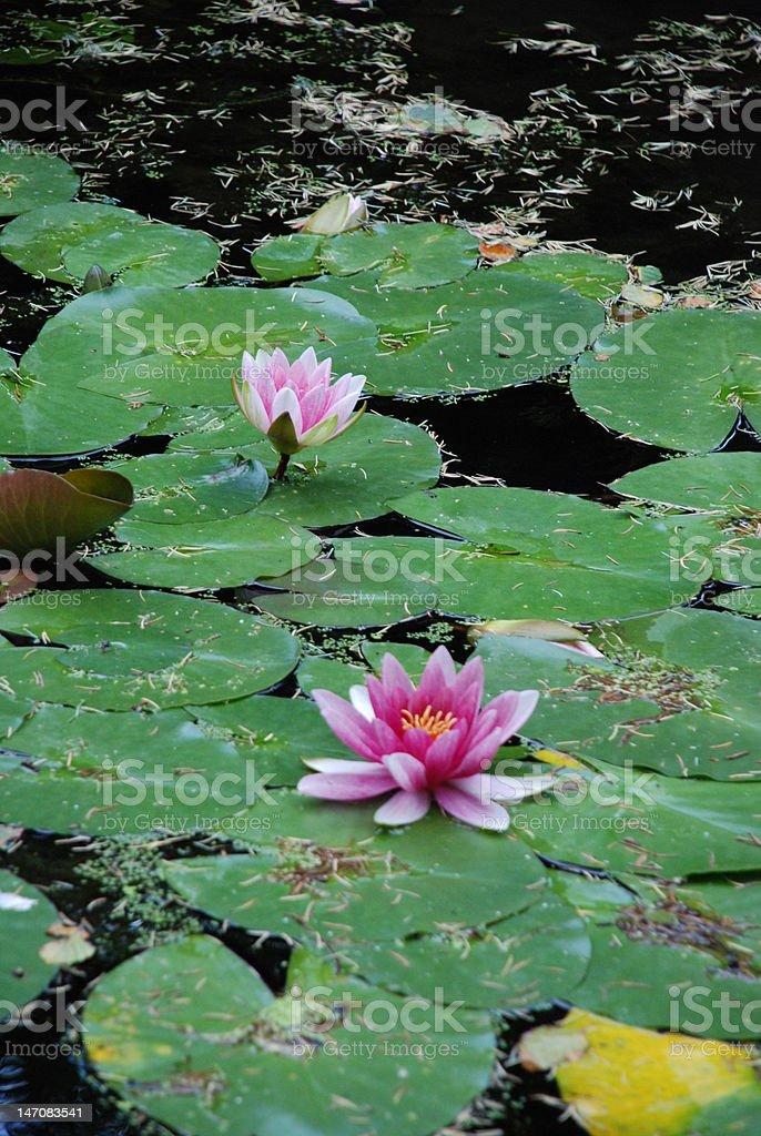 waterlillies stock photo