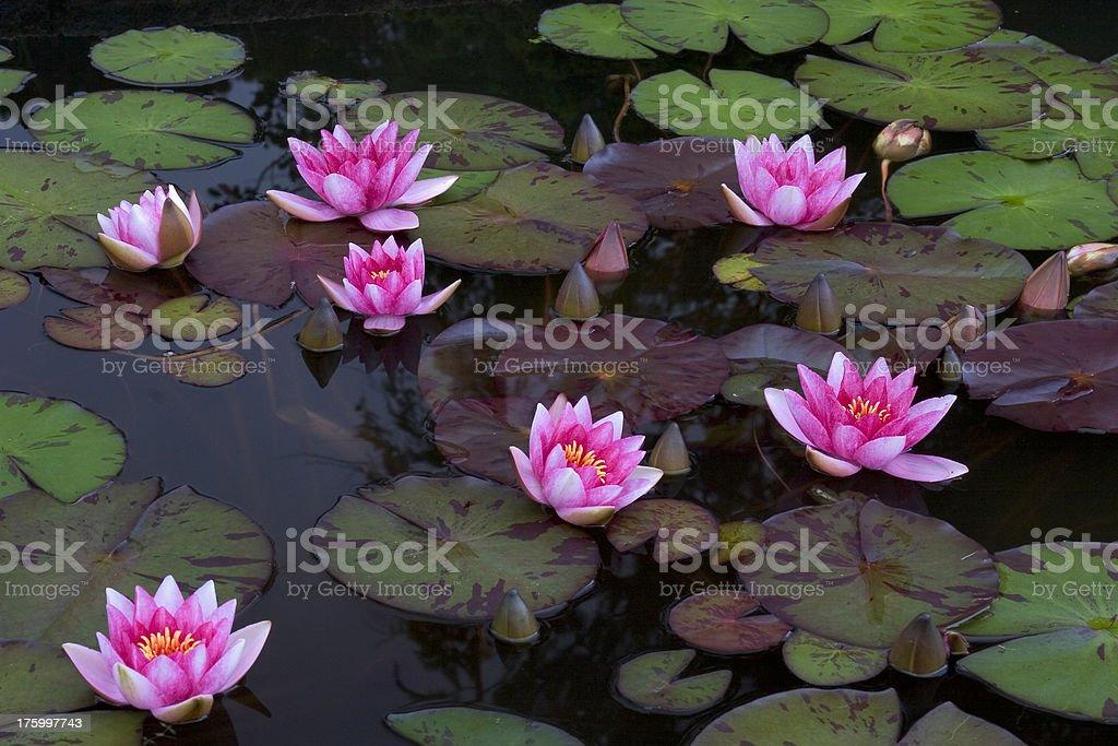 Waterlillies royalty-free stock photo