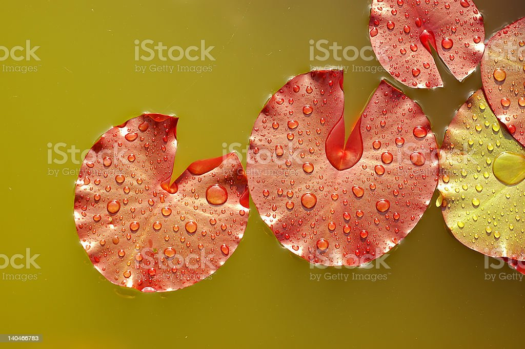 waterlilly leafs royalty-free stock photo