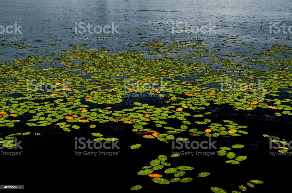 Waterlily at surface of a lake stock photo