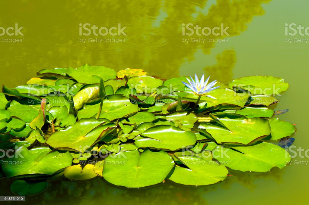 Waterlily Blue Lotus of the Nile stock photo