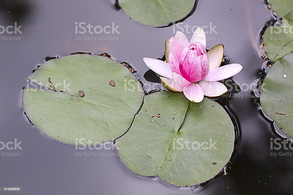 Waterlily detail. royalty-free stock photo