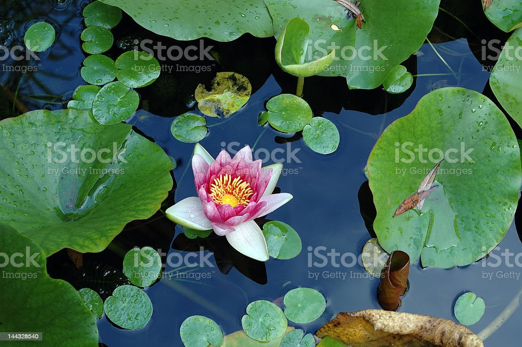 water-lily royalty-free stock photo