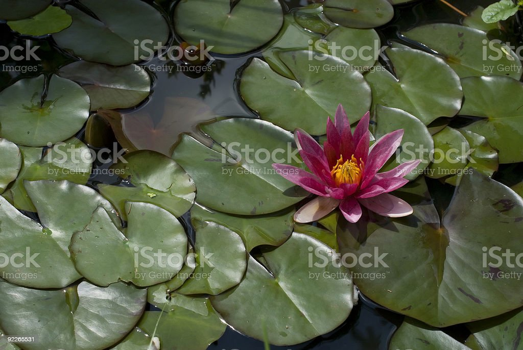 waterlily royalty-free stock photo