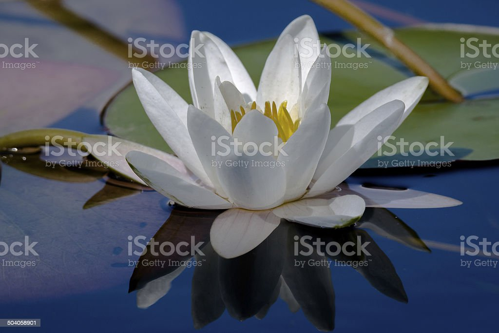 Waterlily scenic stock photo
