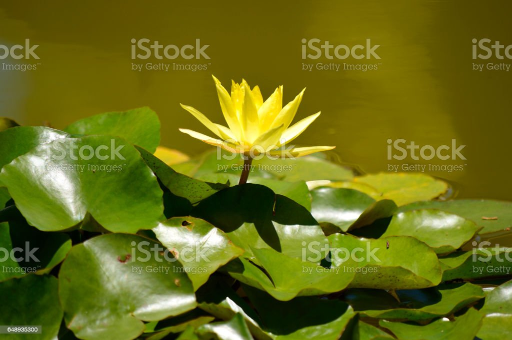 Waterlily yellow Lotus stock photo