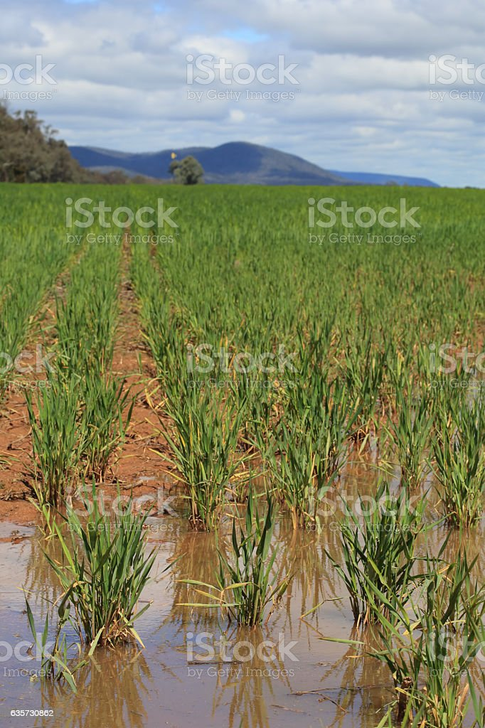 Waterlogged wheat crops after partial flooding stock photo