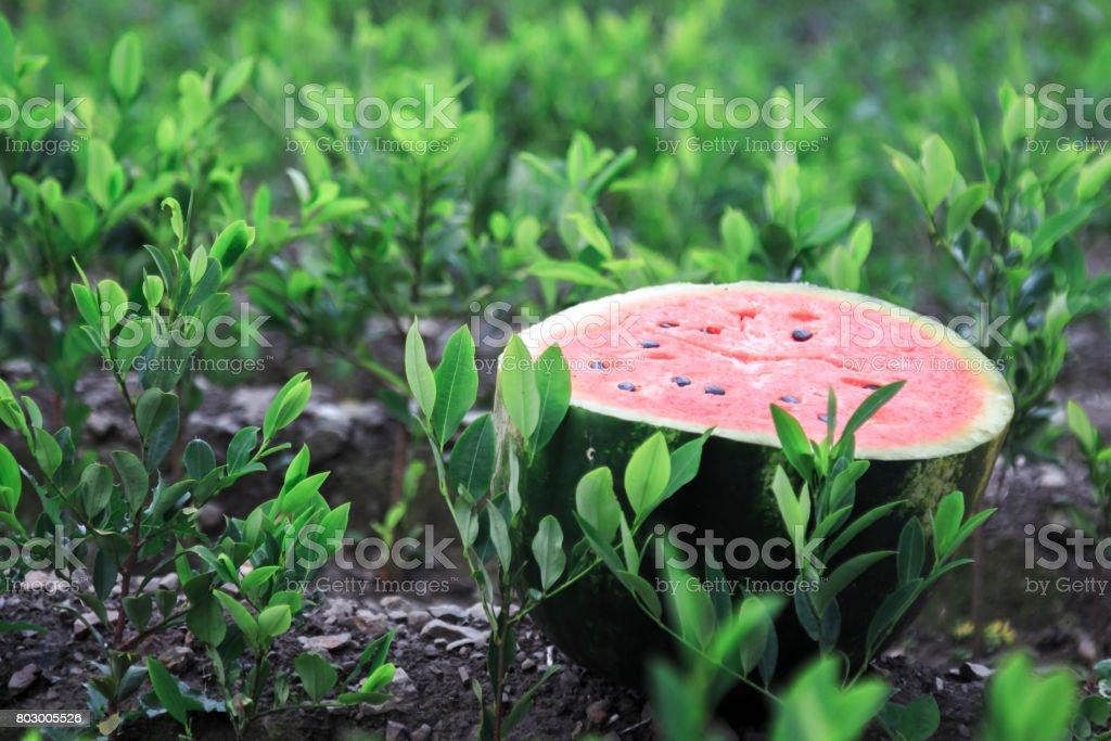 Watermelon among green leaves stock photo