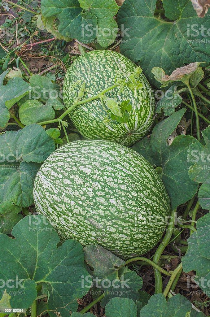 Watermelon and a pumpkin  cross stock photo
