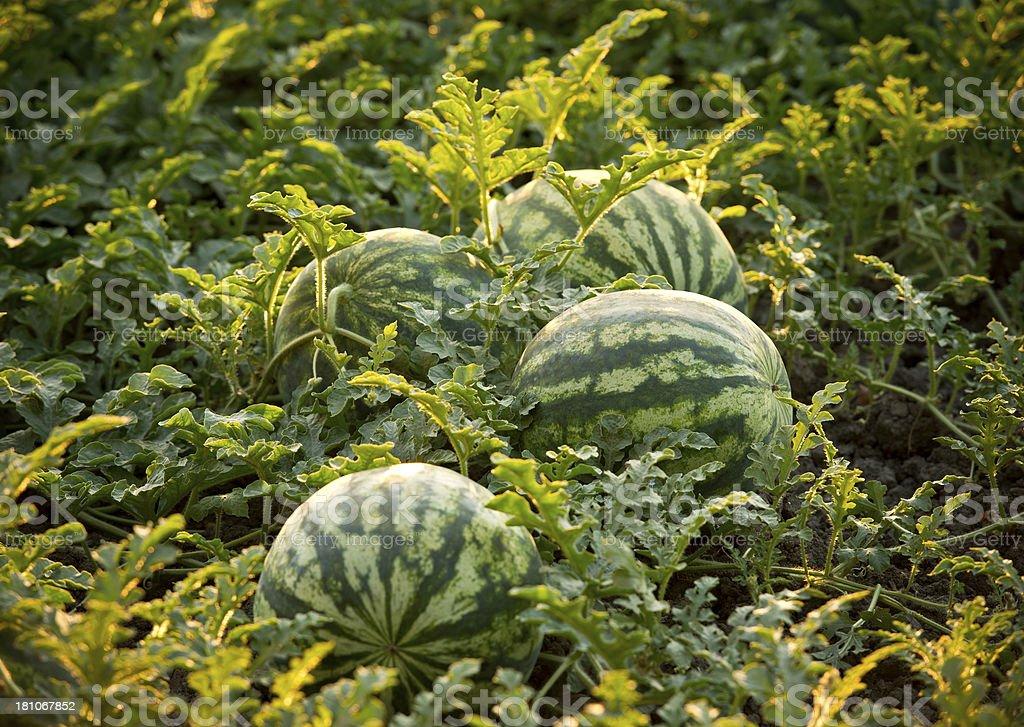 Watermelon field stock photo
