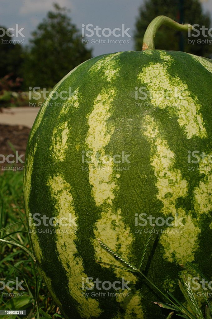 Watermelon From the Side in Color royalty-free stock photo