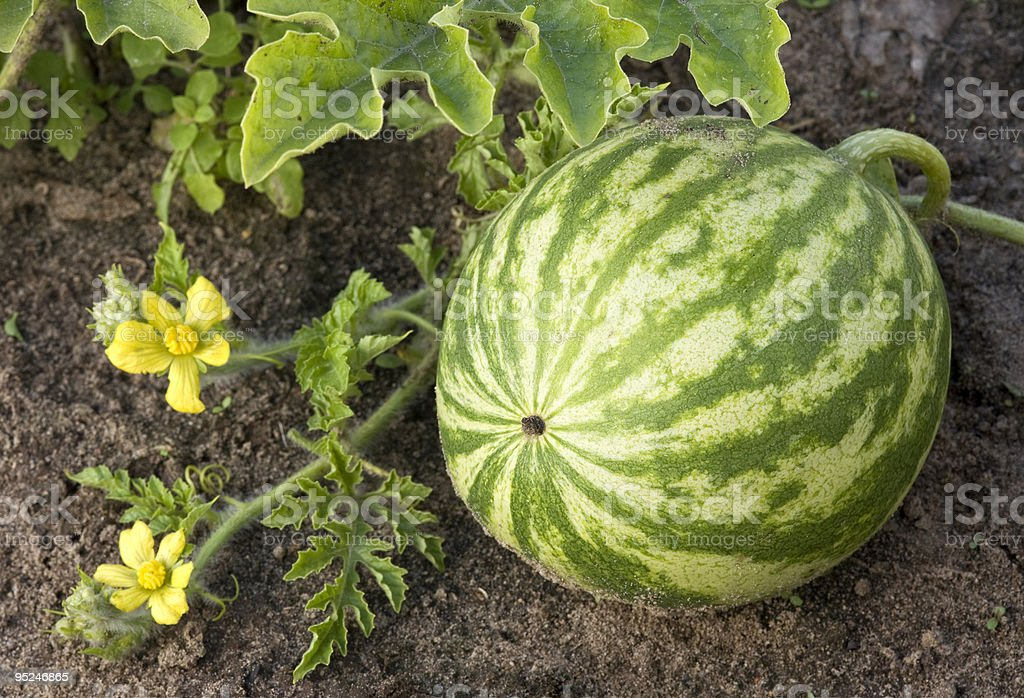 watermelon growing in the field. royalty-free stock photo