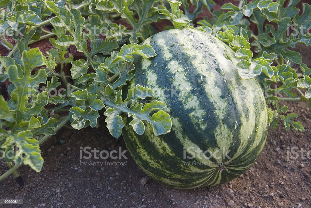 Watermelon growing royalty-free stock photo