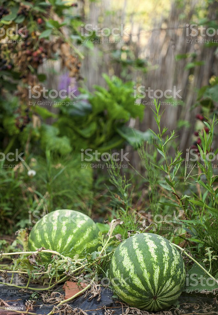 watermelon in a field royalty-free stock photo