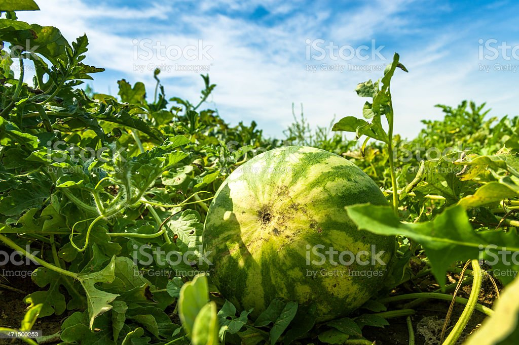 Watermelon on vine stock photo