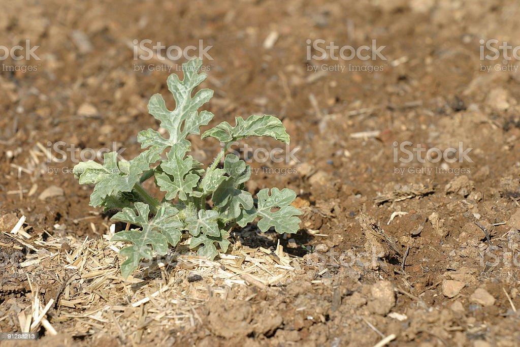 Watermelon plant stock photo
