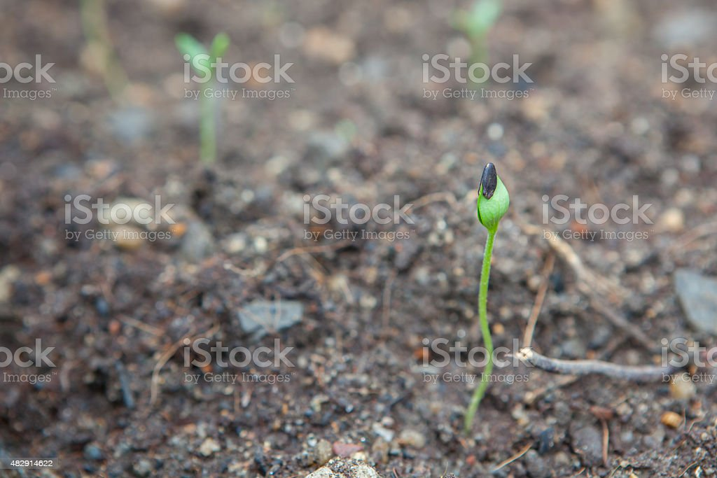 watermelon seedling emerging from rough soil stock photo