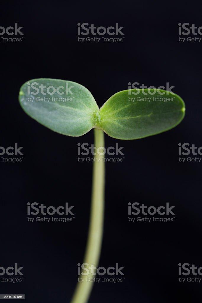 Watermelon Seedling stock photo