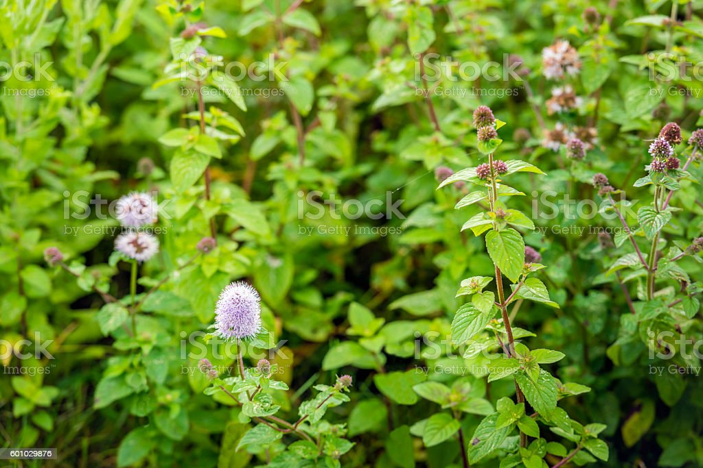 Watermint plants in the wild nature in summertime stock photo