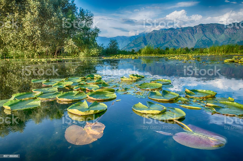 Waterplants on Dal Lake, Srinagar, Kashmir, India stock photo