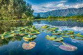Waterplants on Dal Lake, Srinagar, Kashmir, India