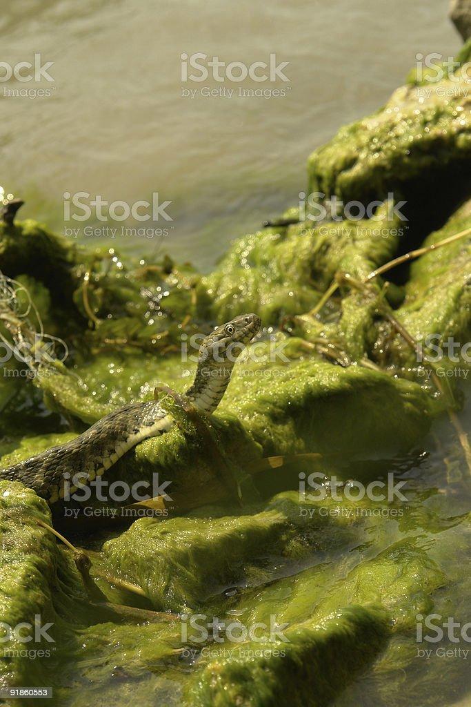 Watersnake on moss stock photo